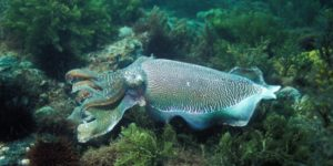 giant cuttlefish swimming in ocean