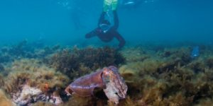 snorkel tour group with giant cuttlefish