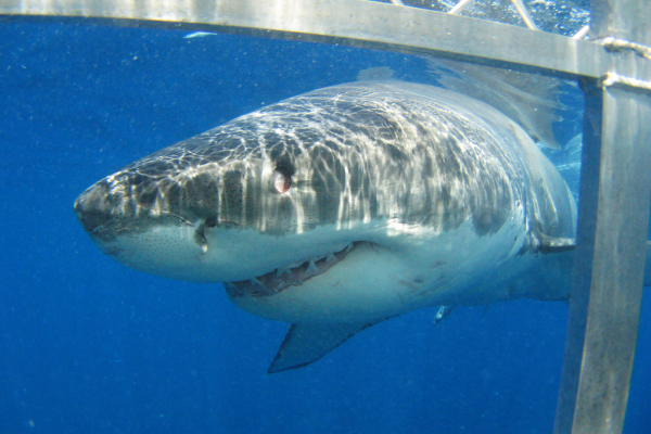 Cage Diving with Great White Sharks, Port Lincoln