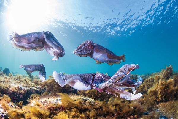 Swim with Giant Cuttlefish