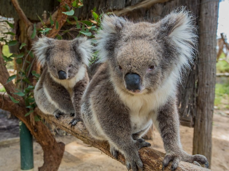 Koala's at Cleland Wildlife Park