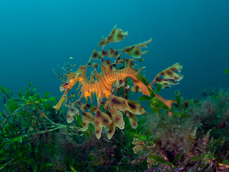 Leafy Sea Dragon South Australia