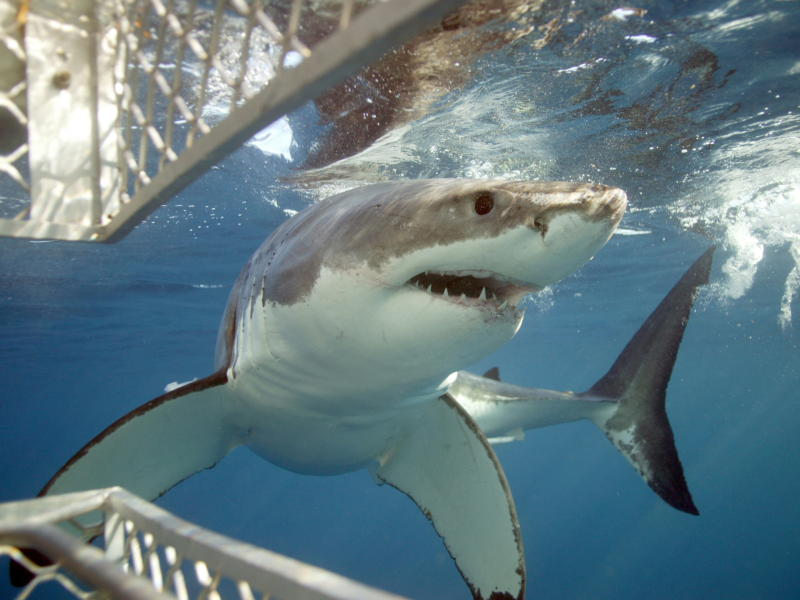 Shark Cage Diving at Port Lincoln