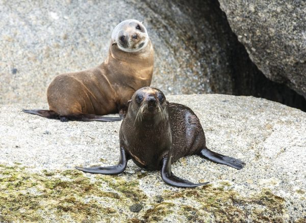 two seals on rocks at encounter bay coastline