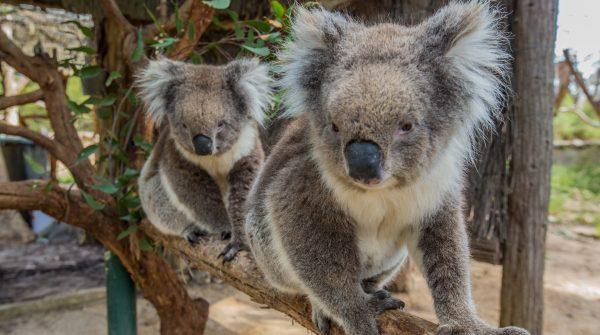two koalas at cleland wildlife park tours