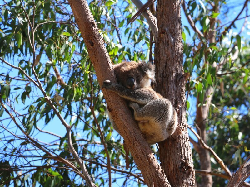 Koala at Morialta - Photo: Pure SA