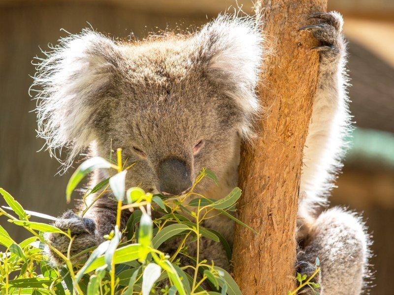 Koala close-up Cleland Wildlife Park